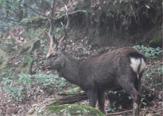 20101221 奈良奥山の牡鹿.jpg