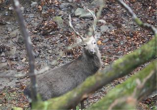 20101221 奈良奥山牡鹿1.jpg