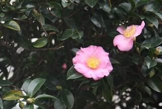 20111109 今年の一番咲き山茶花.jpg